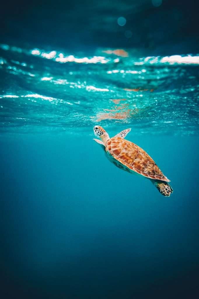 snorkeling in aruba, snorkeling in aruba sea turtles